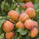 Birkas HaIlanos: Blessing on Fruit Trees. Please fill out the form. We're making a list of available fruit trees.