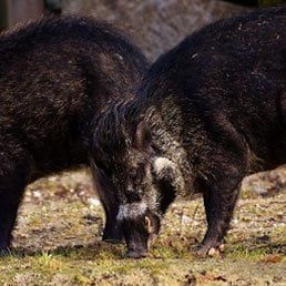The Vatican, the Wild Boars, and Halacha