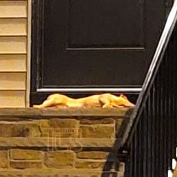 Dead Pig Found Outside Rabbi's Door In Heavily Orthodox New Jersey Township