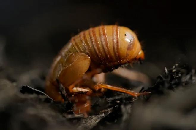 The cicadas have arrived in some states: Can they bite or sting? Are they dangerous to pets? What you need to know. 6