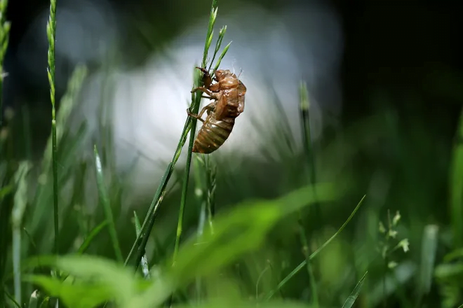 The cicadas have arrived in some states: Can they bite or sting? Are they dangerous to pets? What you need to know. 1