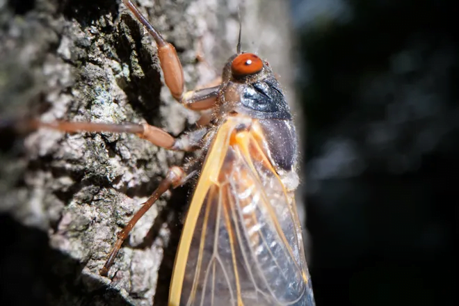 The cicadas have arrived in some states: Can they bite or sting? Are they dangerous to pets? What you need to know. 2