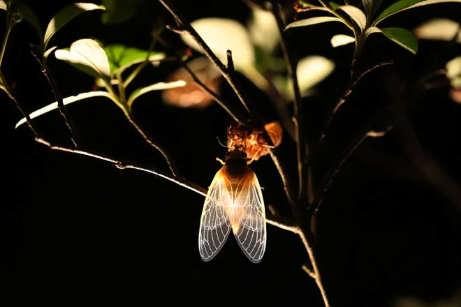 The cicadas have arrived in some states: Can they bite or sting? Are they dangerous to pets? What you need to know. 3