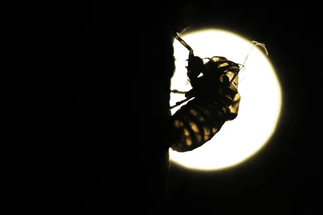 The cicadas have arrived in some states: Can they bite or sting? Are they dangerous to pets? What you need to know. 4